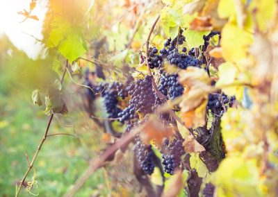 picjumbo-HNCK9581-vineyard_1